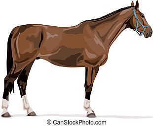 halter., warmblood, sport, typisch, pferd, stehende , ...