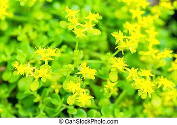 Hama stonecrop, Crassulaceae, Japan
