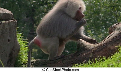 Hamadryas baboon, native to the Horn of Africa and the...