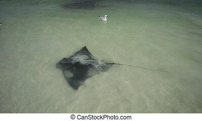 Hamelin Bay Western australia - Australian Eagle Rays in...