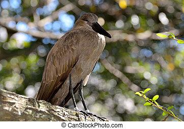Hamerkop bird perched on a tree. Also called Hammerhead Bird.