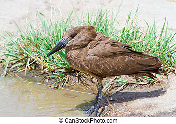 Hamerkop Bird in Africa