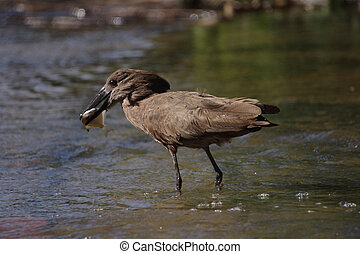Hamerkop Catch of the Day