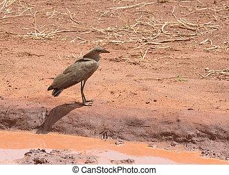 Hamerkop in a puddle (Scopus u. umbretta) in Tarangire National Park