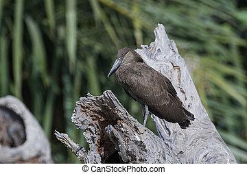 Hamerkop in its natural habitat in Gambia