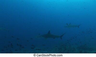 hammer head Shark diving Underwater Video Galapagos islands...