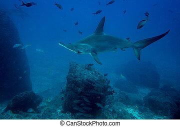 Hammerhead shark in cocos island Costa Rica