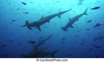 Hammerhead shark in shoal fish underwater lagoon of ocean...