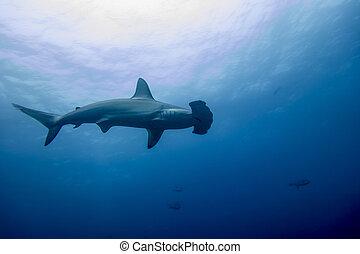 A hammerhead shark in malpelo island Colombia