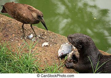 Hammerkop - African Wildlife - Hammerkop Bird - Wildlife in...