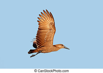 Hammerkop bird in flight