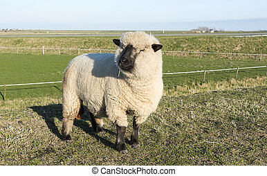 hampshire down sheep in holland - hampshire down sheep with ...