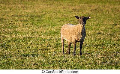 Hampshire Ram - One hampshire ram sheep looking very alert.