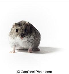 hamster, acroupissement