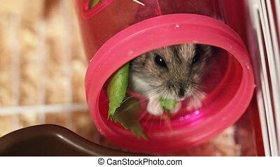 hamster eat green salad