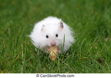 Hamster eating a peanut