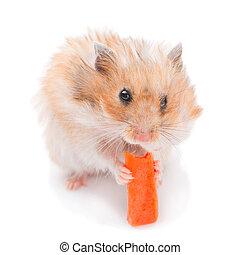 Hamster eating carrot