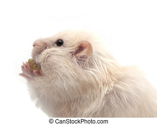 hamster eats nut