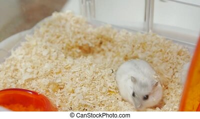 Hamster in sawdust Djungarian in a cage
