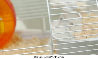 Hamster in the cage Djungarian white