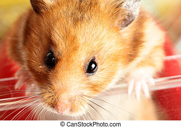 Hamster - Muzzle of red hamster close up