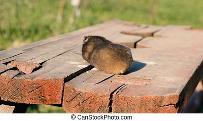 Hamster on a wooden bench in the yard. Time lapse video.