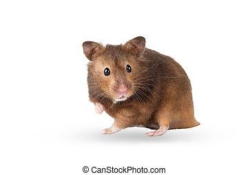 Hamster on white background