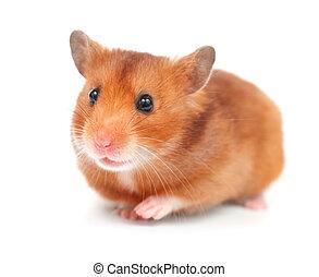 hamster, sobre, branca