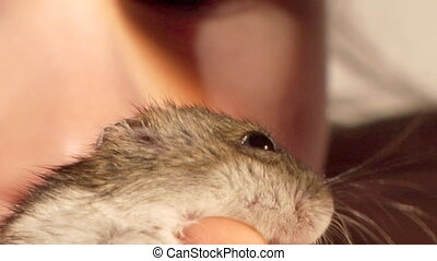 hamster - small domestic hamster in child hands