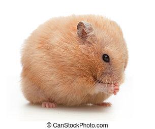 Hamster washes on white background
