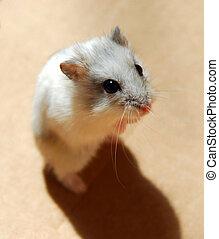 Hamster - White dwarf hamster standing up