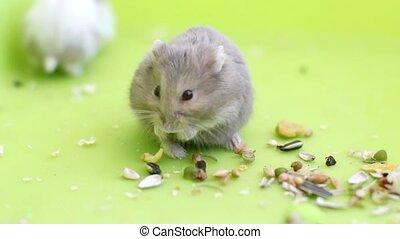 Hamsters eating  - 2 cute hamsters eating seeds