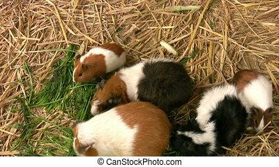 Hamsters feeding