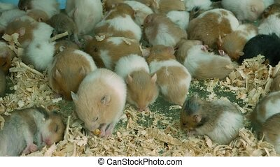 Hamsters in overcrowded cage on pet market. From above many captive hamsters eating wooden shavings and sleeping on floor of overcrowded cage on Chatuchak Market in Bangkok, Thailand.
