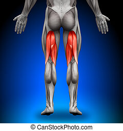 hamstrings, -, anatomia, músculos