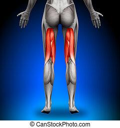 hamstrings, -, femininas, anatomia, músculos