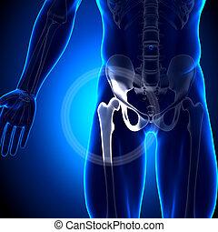 hanche, fémur, -, /, anatomie, jointure, os