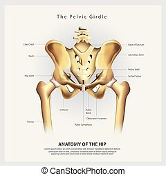 hanche, pelvien, illustration, anatomie, vecteur, humain, ...