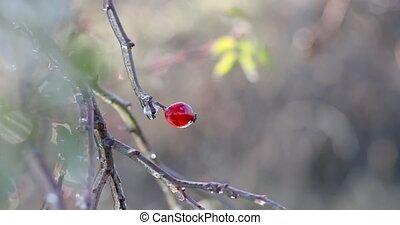 hanches roses, après, branches, surgelé, pluie, glacial, plante