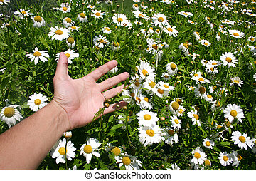 Hand and Flowers - Hand sweeping through field of daisies