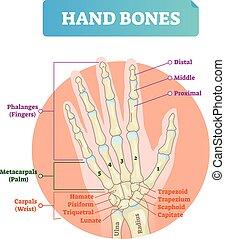 Hand bones vector illustration. Labeled educational arm...