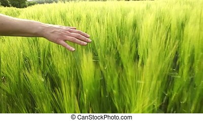 hand caressing wheat slomo - slow motion women walking in...