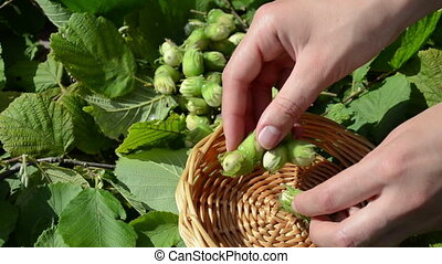 hand collect hazel nut - hand collect gather ripe hazel...