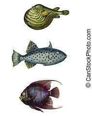 hand-colored, fish, etchings