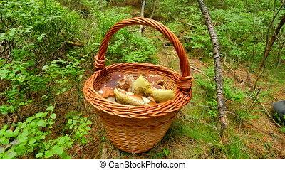 Hand cut off boletus mushroom by jagged blade knife, than mushroomer hands placing mushroom into wicker basket. The mushroom hunting