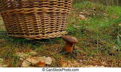Hand cut off boletus mushroom by jagged blade knife, than...