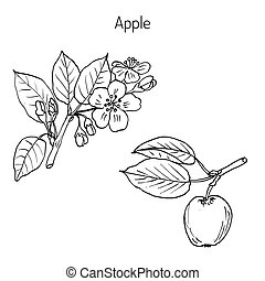 Hand drawing apple tree branch