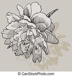 hand-drawing., pivoine, vecteur, fleur, illustration.