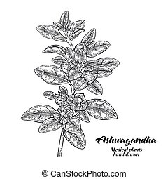 Hand drawn Ashwagandha. Medical plant Isolated on white background. Vector illustration engraved.