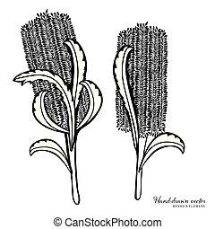 Hand-drawn Australian Banksia Vector Illustraiton